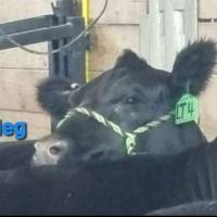 American Aberdeen cattle club