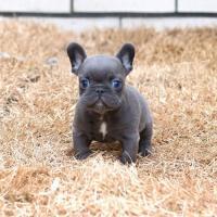 Pupy French Bulldog